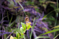 A butterfly patiently waiting while I try to photograph it, unlike all the other butterflies (21367172533).png