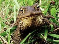 A curious toad1.JPG