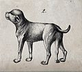 A dog with congenital defects (five legs). Lithograph. Wellcome V0022904ER.jpg