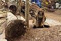 A goatling in Varkala.jpg