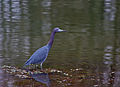 A guest at the pond. (8621254689) (2).jpg