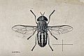 A horse fly (Tabanus gratus). Pen and ink drawing by A.J.E. Wellcome V0022593.jpg