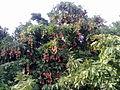A litchi tree.jpg