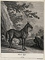 A mule wearing only a halter standing in a mountainous lands Wellcome V0021155EL.jpg
