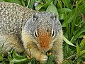 A squirrel munching on some food - panoramio.jpg