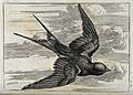 A swallow in flight. Engraving, ca. 1690, after F. Barlow. Wellcome V0022127.jpg