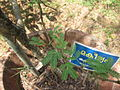 Acacia catechu - കരിങ്ങാലി 03.JPG