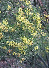 Acacia flexifolia.jpg