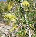 Acacia greggii 5.jpg