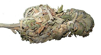 Acapulco Gold - A modern bud of Acapulco Gold