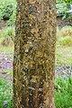 Acer buergerianum ssp. ningpoense in Hackfalls Arboretum (1).jpg