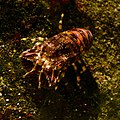Acquario di Genova 27072015 03 Scyllarus arctus.jpg