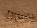 Acrididae indet. from Berlin City (7275189562).jpg