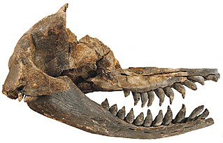 <i>Acrophyseter</i> species of mammal (fossil)