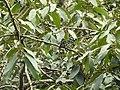 Actinodaphne malabarica Varattuparai DSCN0497.JPG