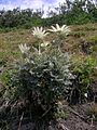 Actinotus helianthi plant2 (8371090297).jpg