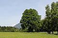 Admont-Krumau - Naturdenkmal 931 - Winterlinde (Tilia cordata) II.jpg
