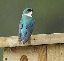 Adult Hispaniolan Golden Swallow perched on artificial nest-box.jpg