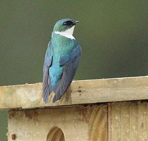 Golden swallow - Adult of the subspecies sclateri perching on a nest box