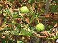 Aesculus hippocastanum - divlji kesten 3.jpg