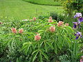 Aesculus pavia rosea nana (17966675230).jpg