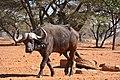 African Buffalo (Syncerus caffer) bull (33064006406).jpg