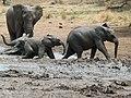 African Elephants (Loxodonta africana) (8290540827).jpg