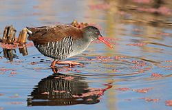 African Rail, Rallus caerulescens at Marievale Nature Reserve, Gauteng, South Africa (21238477022).jpg