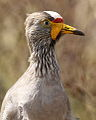 African Wattled Lapwing or Senegal Wattled Plover, Vanellus senegallus at Rietvlei Nature Reserve (13936868013).jpg