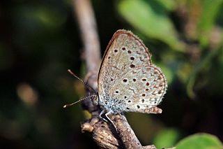 <i>Zizeeria knysna</i> species of insect