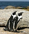 African penguins Boulder Bay 1.jpg