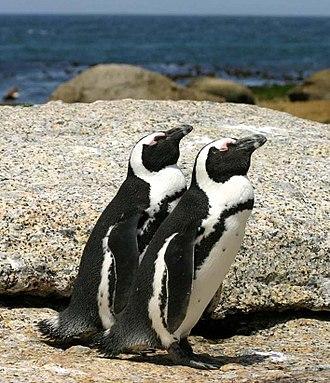 African penguin - Image: African penguins Boulder Bay 1