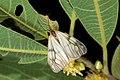Agalope formosana (26048078335).jpg