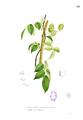 Aganope thyrsiflora Blanco1.161.png