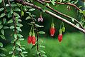 Agapetes serpens - Flora und Botanischer Garten Köln.JPG