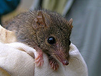 Agile Antechinus (Antechinus agilis) on cloth, close-up from front.jpg