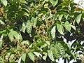 Aglaia spectabilis flowering2428.jpg