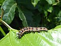 Agraulis vanillae vanillae, caterpillar.jpg