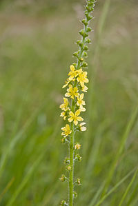 Agrimonia eupatoria vallee-de-grace-amiens 80 22062007 3.jpg