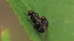 File:Agromyza sp - copula.ogv