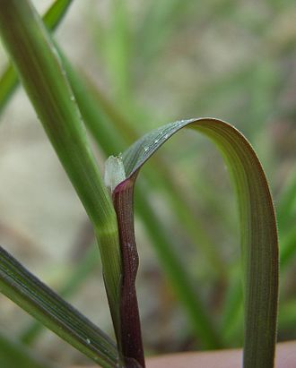 Agrostis stolonifera - ligule is pointed up to 5mm long