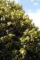 Agrumes Orangers CL J Weber09 (23048333383).jpg