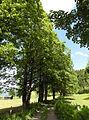 Ahornbäume BurgKaprun 02.JPG