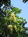 Ailanthus altissima Bożodrzew gruczołkowaty 2011-09-11 01.jpg