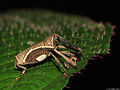 Alcidodes weevil with funny legs (5355828537).jpg