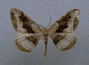 Mottled beauty - Alcis repandata f.conversaria Male