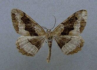 Mottled beauty - Male Alcis repandata f. conversaria