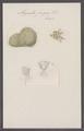 Alcyonella fungosa - - Print - Iconographia Zoologica - Special Collections University of Amsterdam - UBAINV0274 093 18 0008.tif
