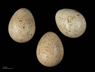 Barbary partridge - Eggs of Alectoris barbara - MHNT