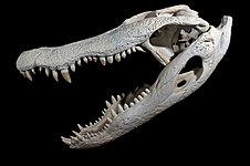 Alligator Crâne et Mandibule.jpg